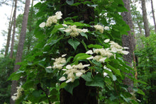 Schizophragma hydrangeoides 'Moonlight'