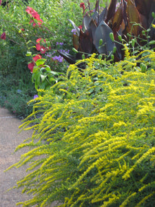 Solidago rugosum 'Fire Works'