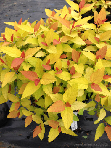 Spiraea Double Play 'Candy Corn'®PPAF