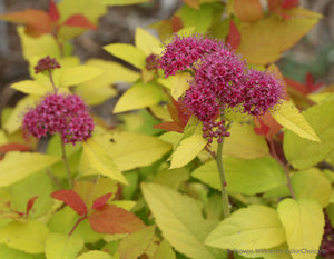 Spiraea Double Play® 'Candy Corn' PPAF