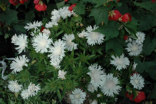 Stokesia laevis 'White Surprise'