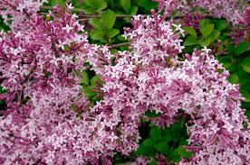 Syringa pubescens subsp. julianae 'Red Pixie'