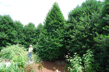 Thuja 'Green Giant'