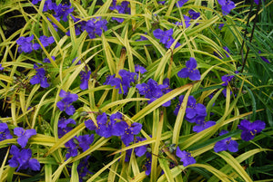 Tradescantia 'Sweet Kate'