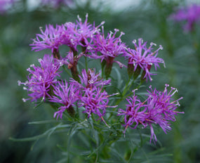 Vernonia lettermanii 'Iron Butterfly'