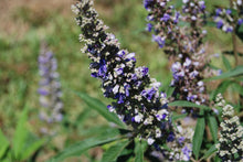 Vitex agnus-castus First Editions®(Blue Puffbal™)'