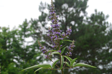 Vitex agnus-castus 'Shoal Creek'