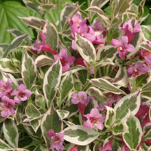 Weigela florida 'Verweig' (My Monet™)PP16824
