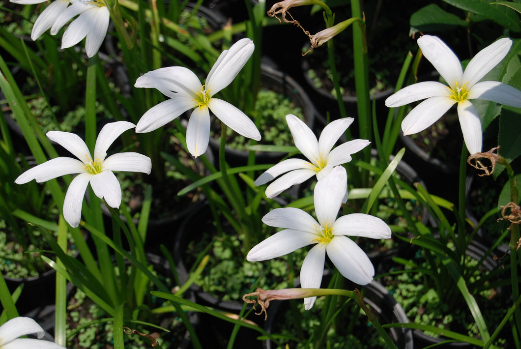 Zephyranthes 'Cookie Cutter Moon'
