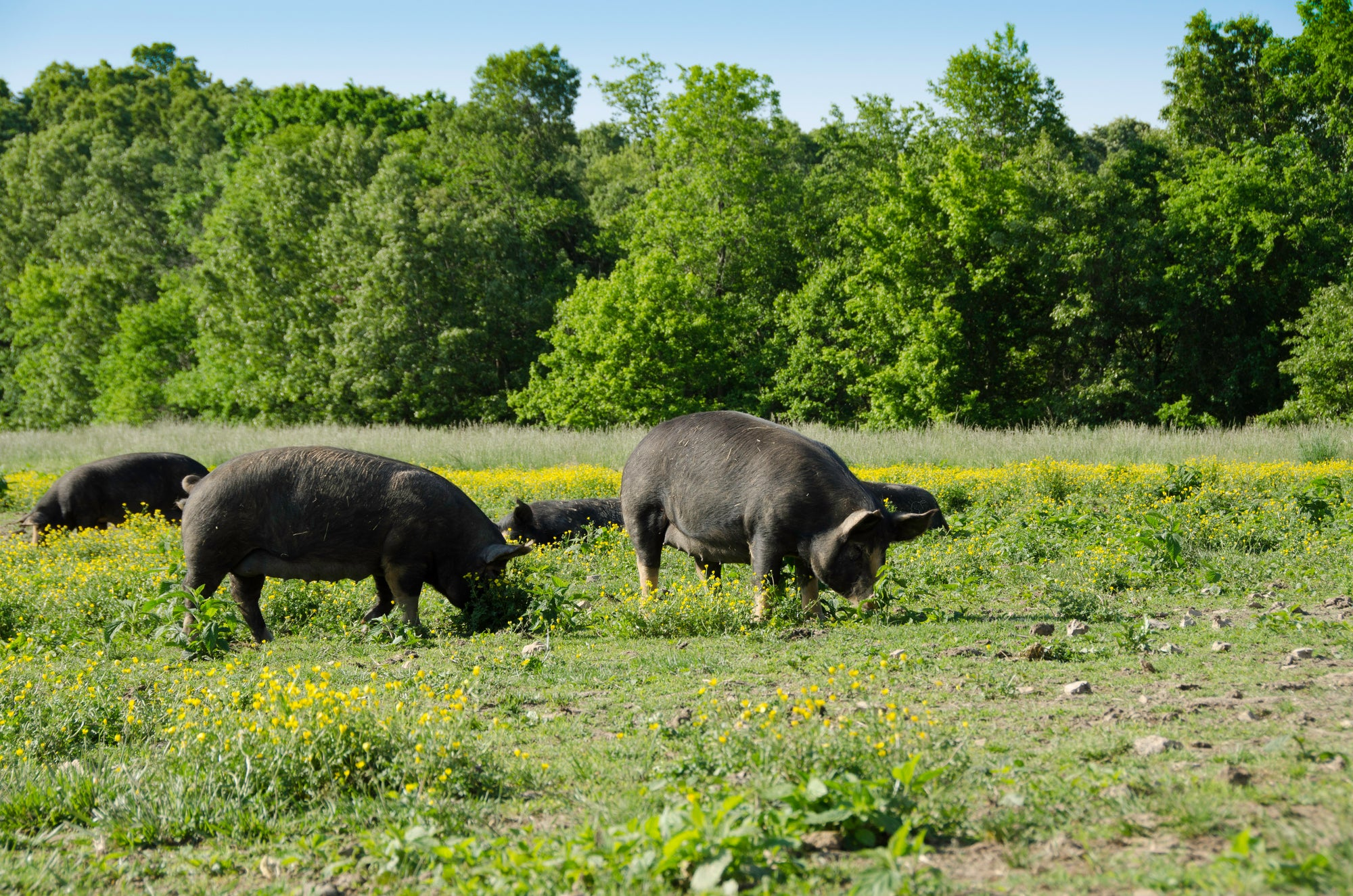 Newman Farm - Berkshire Pork Raised in the Ozarks