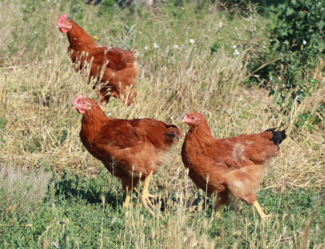 What Separates Heritage Chickens From the Rest of the Pack?