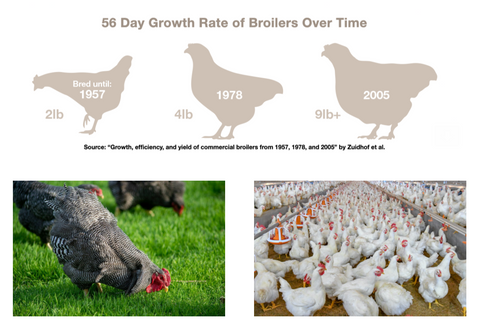 Boiler Chicken Growth Rates