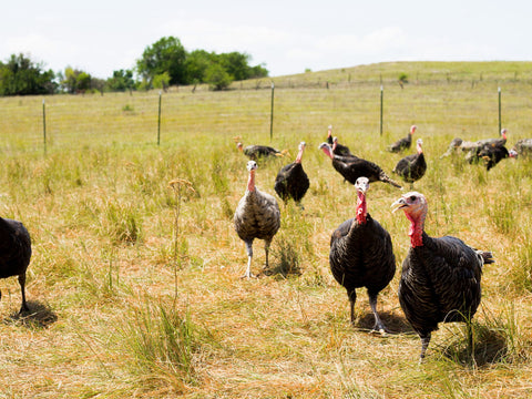 Heritage Turkeys on Pasture