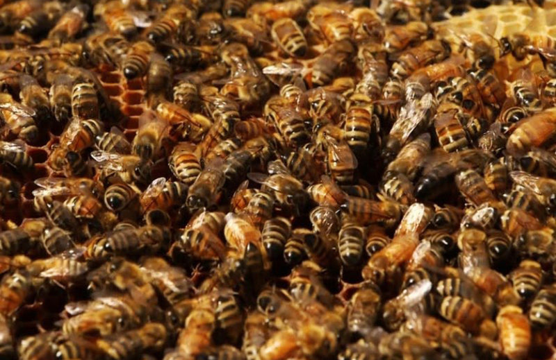 Bee Packages 2021 Australian - Tasmanian