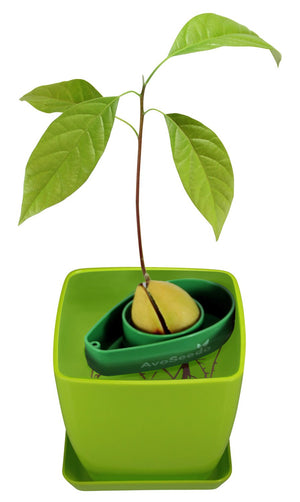 AvoSeedo DIY Green Avocado Tree Growing Kit