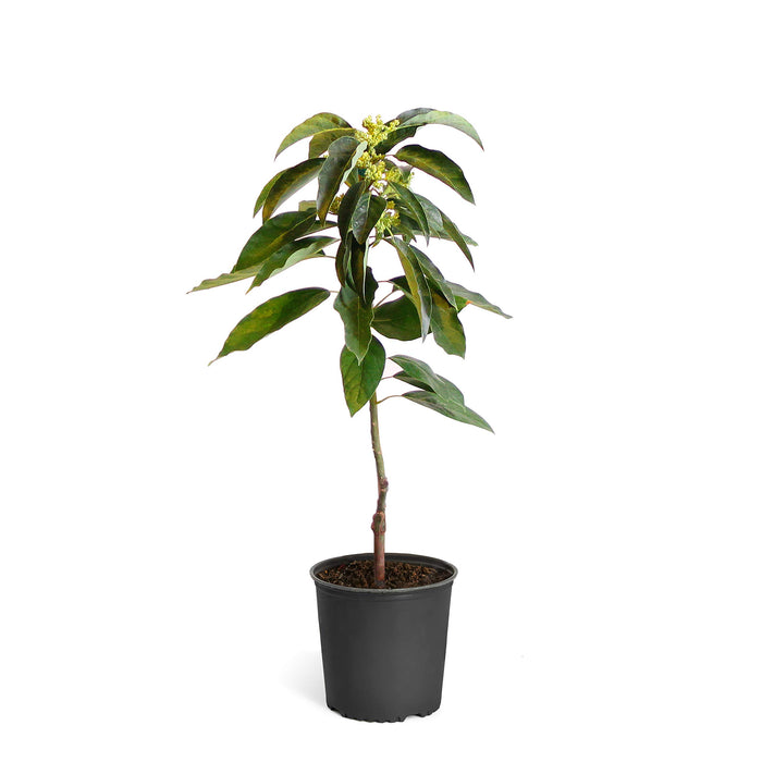 Brighter Blooms Cold Hardy Avocado Tree: Mexicola Grande (2-3 ft)
