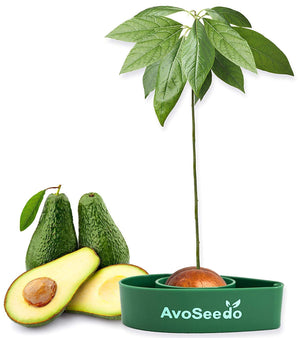 AvoSeedo DIY Avocado Tree Growing Kit