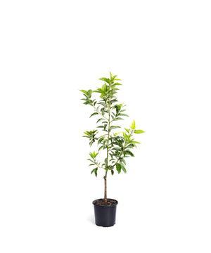 Brighter Blooms Cold Hardy Avocado Tree: Mexicola Grande (3-4 ft)