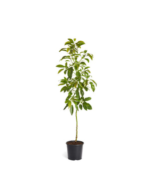 Brighter Blooms Hass Avocado Tree: Indoor/Outdoor (3-4 ft)