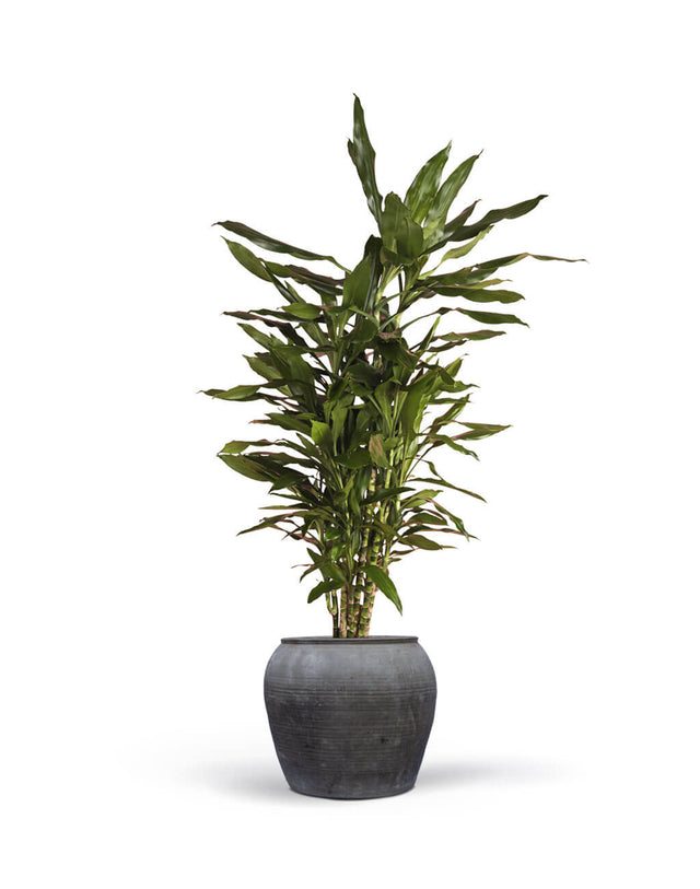 Duftdracæna (Dracaena Fragrans)