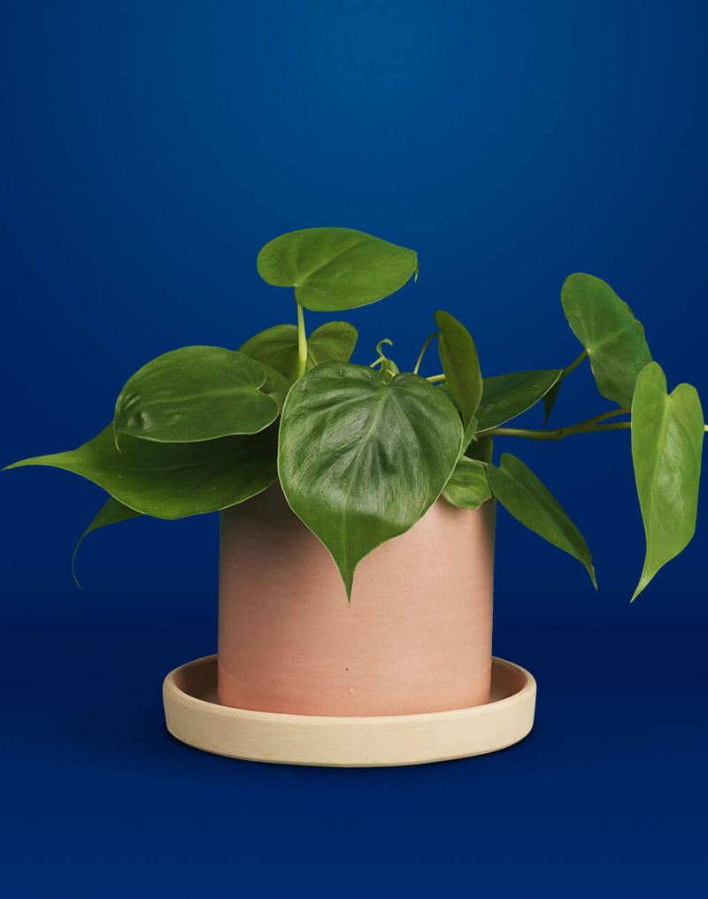 products/PB_Hjertefilodendron-Philodendron-Scandens-Oyoy-Why-Not-Cylinder-powder-krukke-1024x1300.jpg