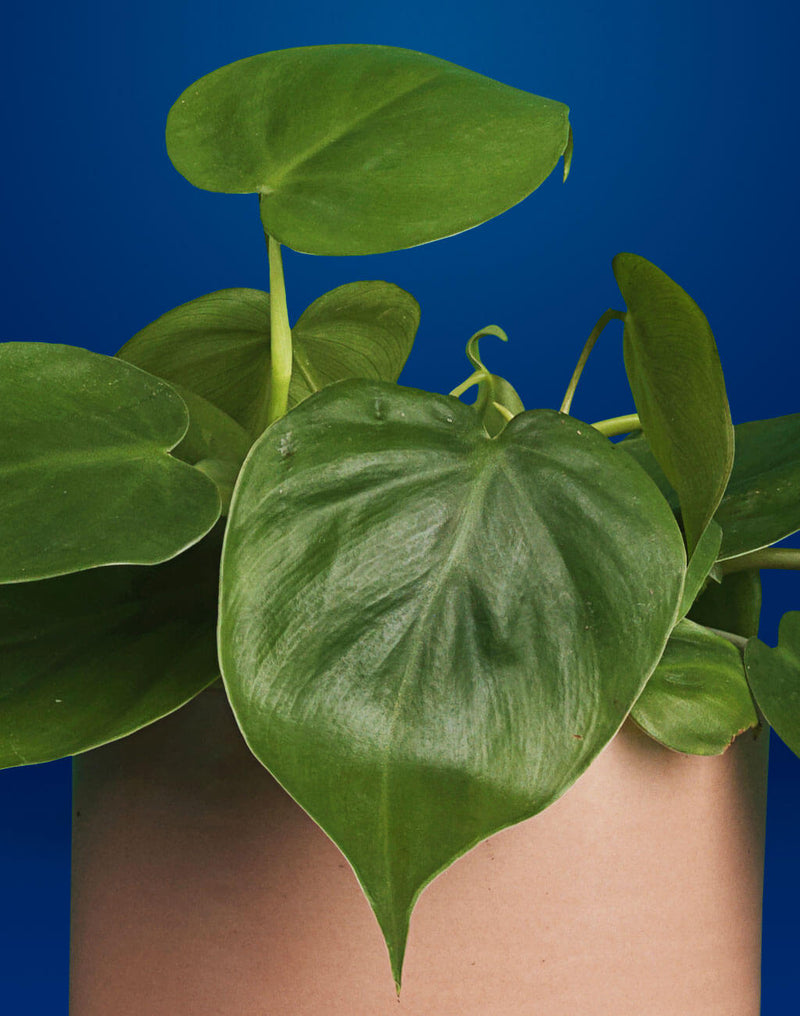 products/PB_Hjertefilodendron-Philodendron-Scandens-Oyoy-Why-Not-Cylinder-powder-krukke-naer-01-1024x1300.jpg