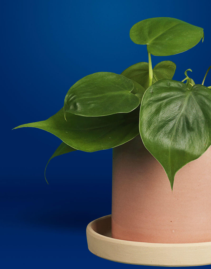 products/PB_Hjertefilodendron-Philodendron-Scandens-Oyoy-Why-Not-Cylinder-powder-krukke-naer-02-1024x1300.jpg