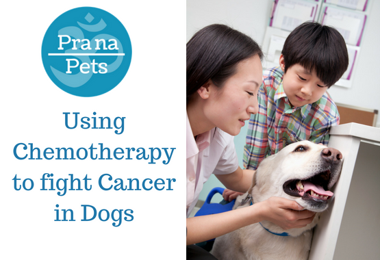 Using Chemotherapy to fight Cancer in Dogs