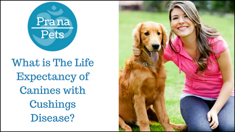 What is The Life Expectancy of Canines with Cushings Disease?