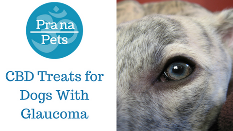 CBD Treats for Dogs With Glaucoma