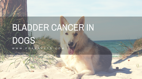 Bladder Cancer in Dogs