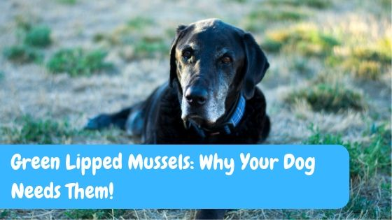 Green Lipped Mussels: Why Your Dog Needs Them!