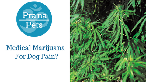 Medical Marijuana for dog pain - Will my dog get high?