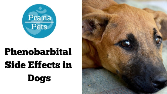 Phenobarbital Side Effects in Dogs