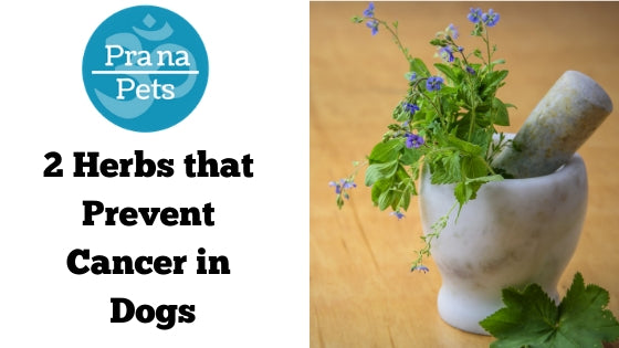 2 Herbs that Prevent Cancer in Dogs