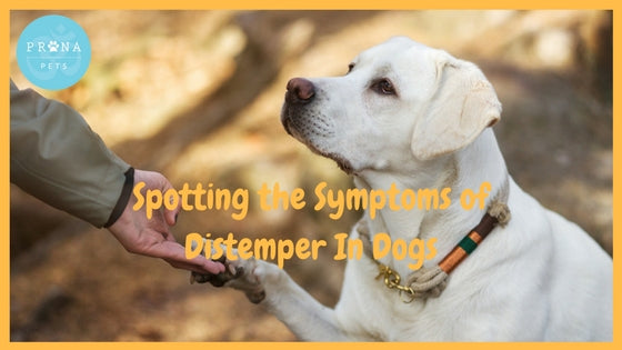 Spotting the Symptoms of Distemper in Dogs