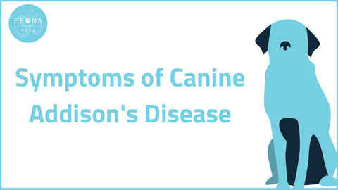 Symptoms of Canine Addison's Disease
