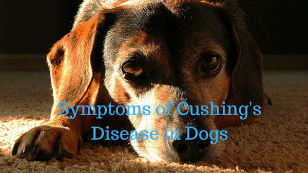 Symptoms of Cushing's Disease in Dogs