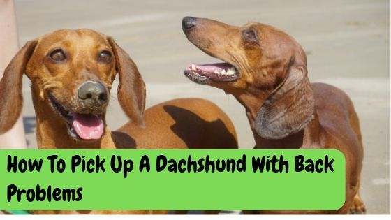 How To Pick Up A Dachshund With Back Problems