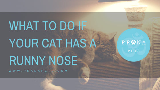 What to Do if Your Cat Has a Runny Nose?