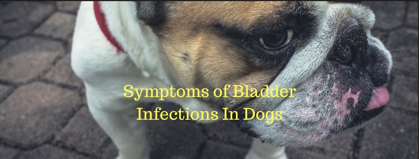Symptoms of Bladder Infections In Dogs