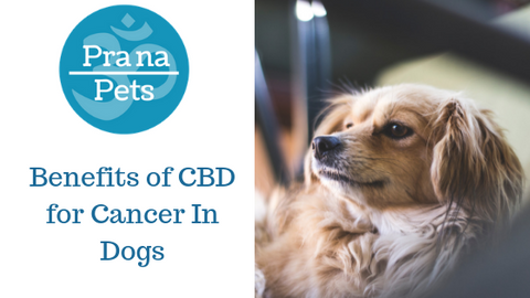 Benefits of CBD for Cancer In Dogs