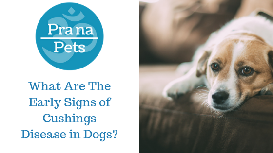 What Are The Early Signs of Cushings Disease in Dogs
