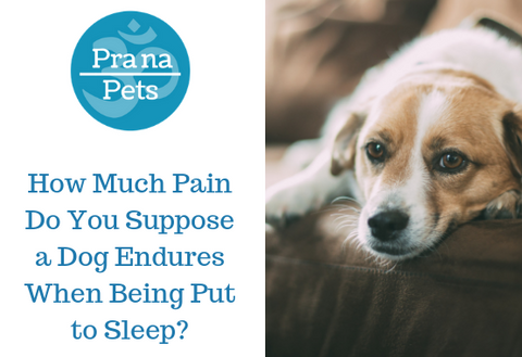 How much pain do you suppose a dog endures when being put to sleep?