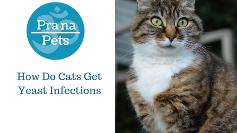 How Do Cats Get Yeast Infections?