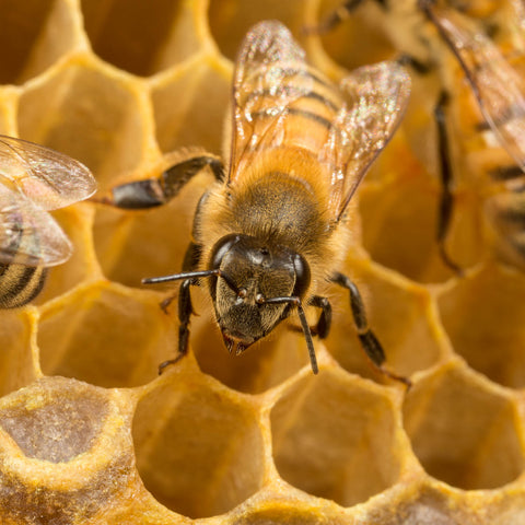 Honeybee on empty comb
