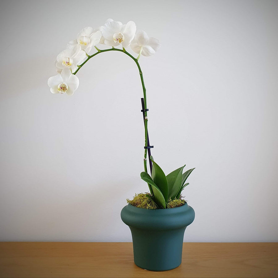 Orchid - Mini White Phalaenopsis In Ceramic Pot