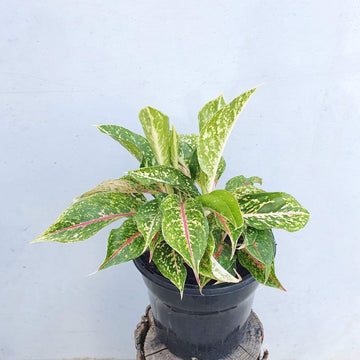 Aglaonema Red Valentine Folia House