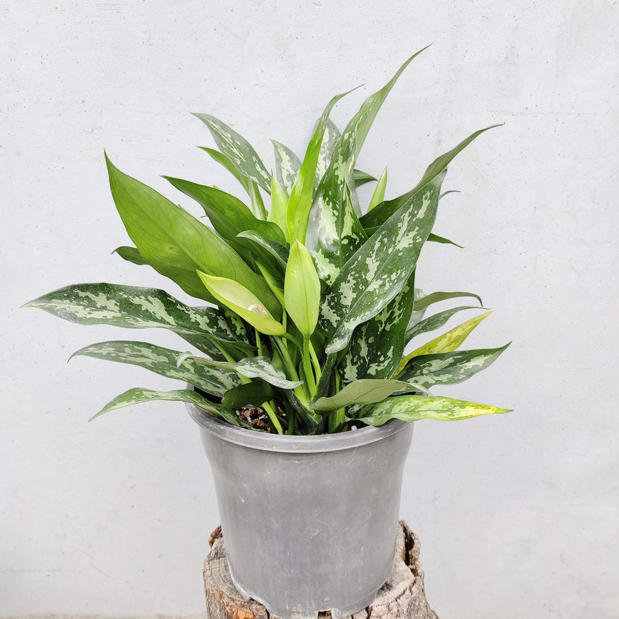 Aglaonema Super Maria Folia House