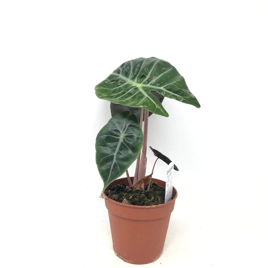Alocasia purple night Folia House